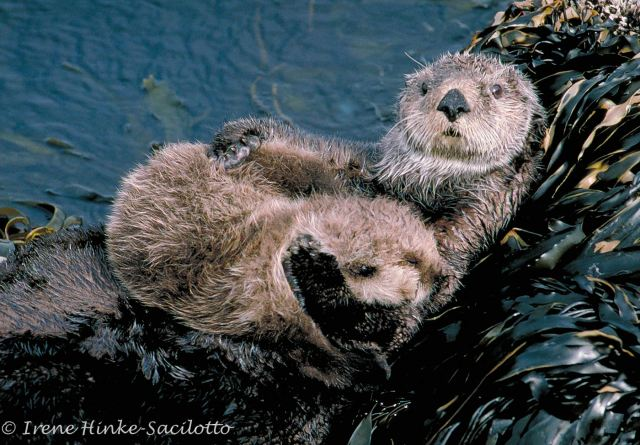 Otter protecting young. Difficult to get this photo since rocks were slippery.